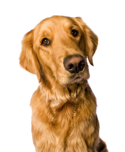 golden retriever DMD study