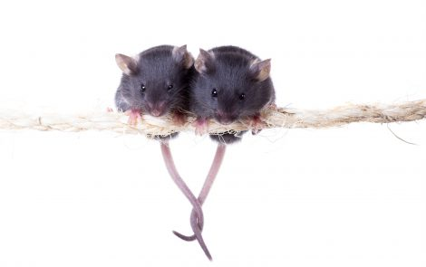 GsMTx4 a Promising 'Out-of-the-Box' Therapy for Advanced DMD, Mouse Study Shows